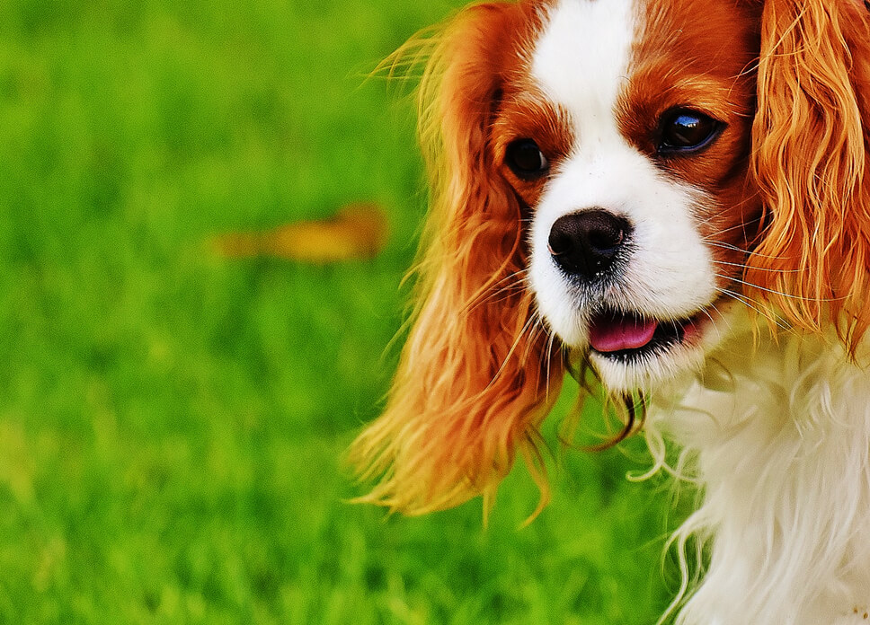 types-of-spaniels