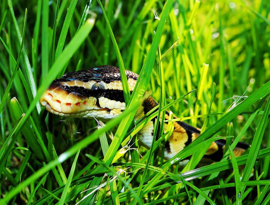blue-eyed-leucistic-ball-pythons