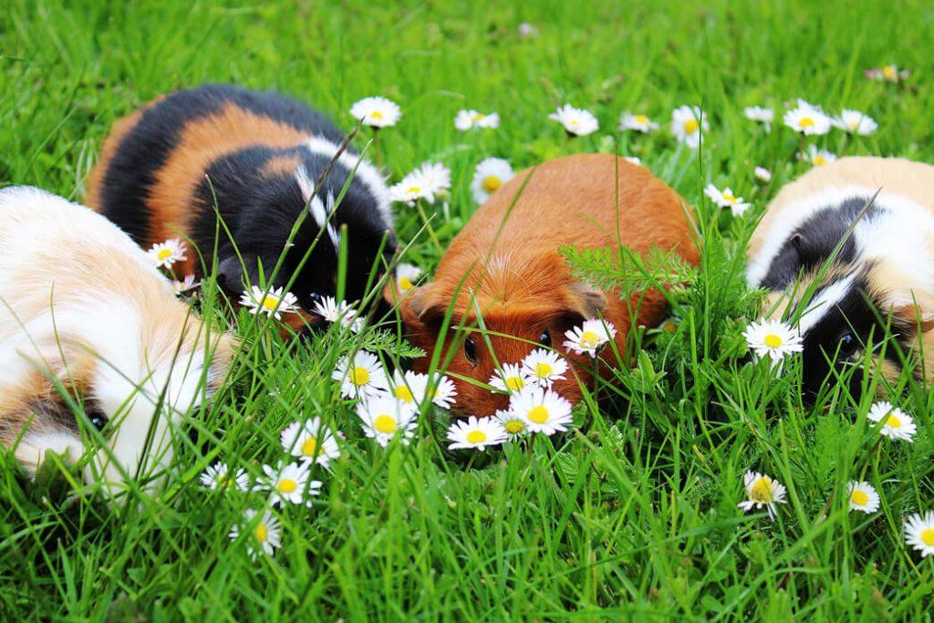 can-guinea-pigs-get-coronavirus