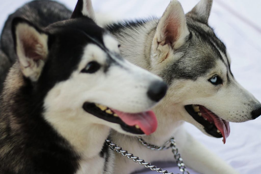 do-huskies-get-along-with-cats