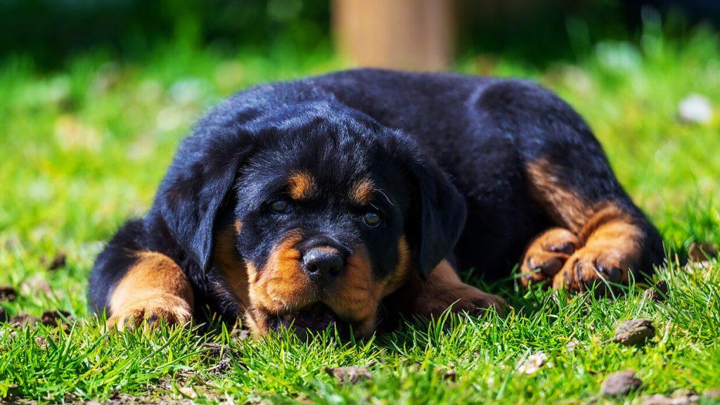 does-a-mini-rottweiler-a-good-family-dog