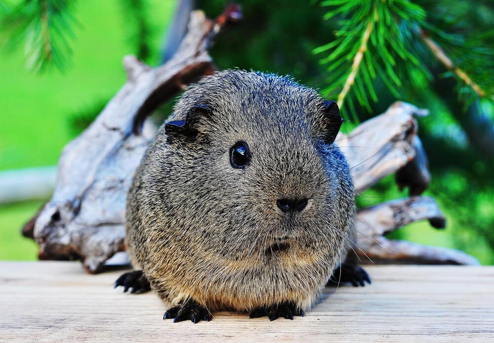 guinea-pig-fact