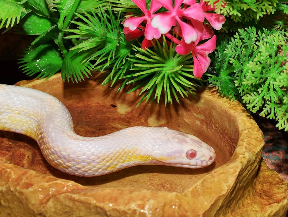 how-long-do-corn-snakes-live