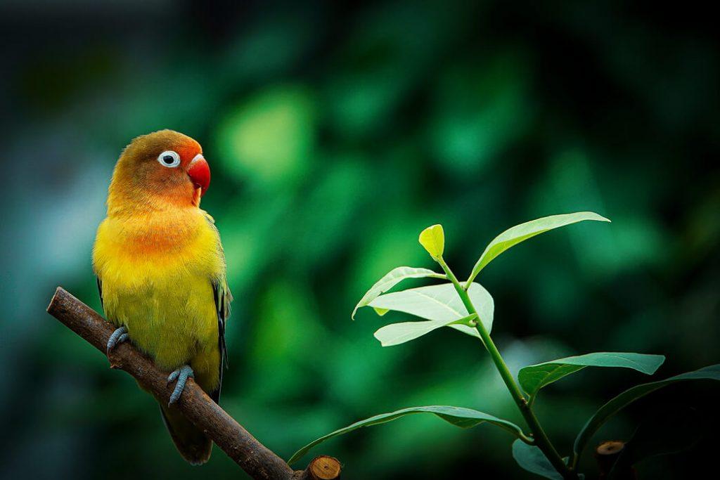 how-long-do-parakeets-live