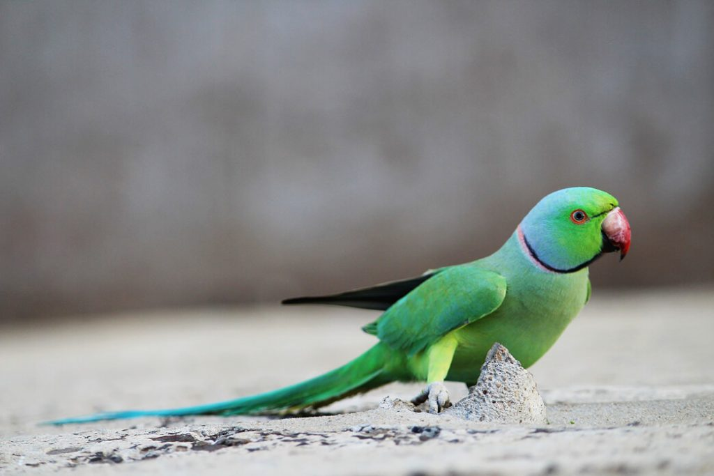 how-much-is-parakeet