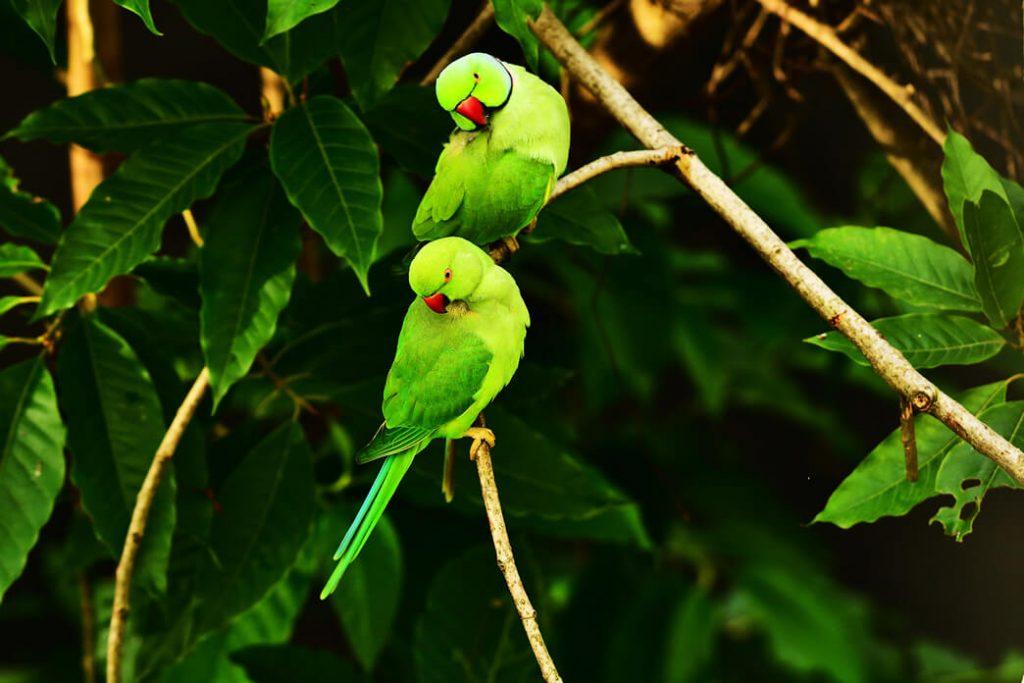parakeets-behaviors