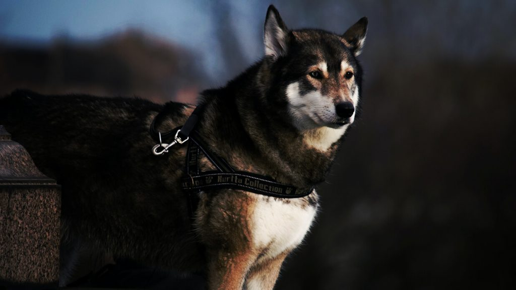 agouti-husky
