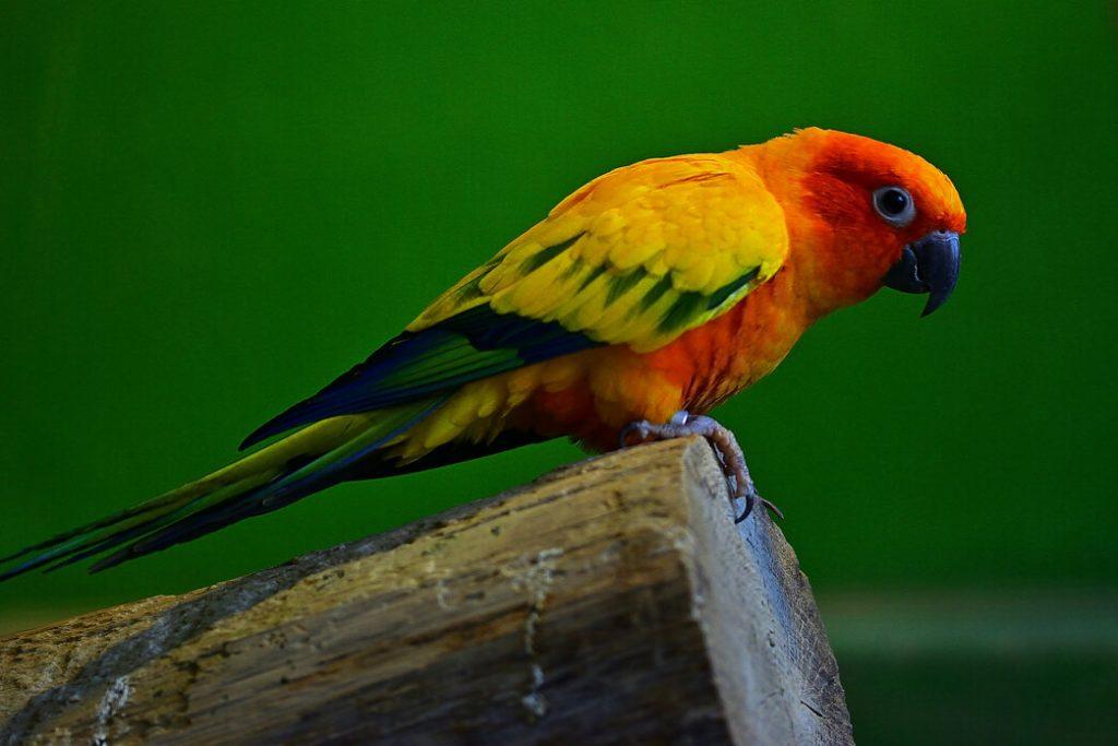 red-rump-parakeets